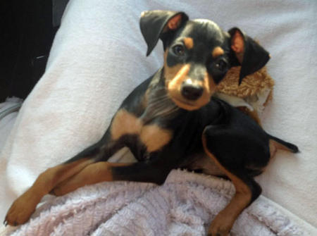 charlie the miniature pinscher | dogs | daily puppy