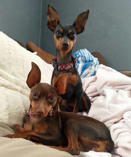 Charlie the Miniature Pinscher Pictures 1007041
