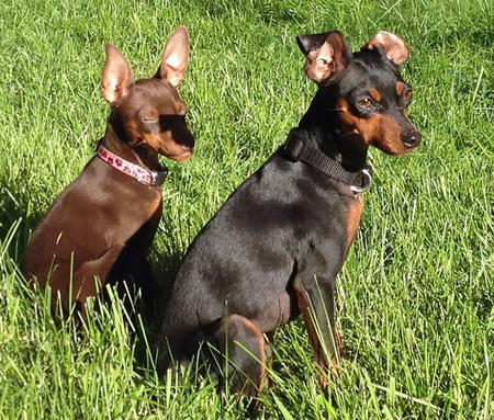 Charlie the Miniature Pinscher Pictures 1007042