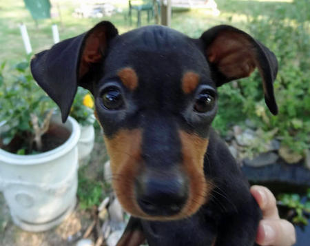 Charlie the Miniature Pinscher Pictures 1007043