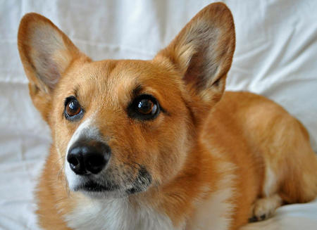 Charlie the Pembroke Welsh Corgi Pictures 528233