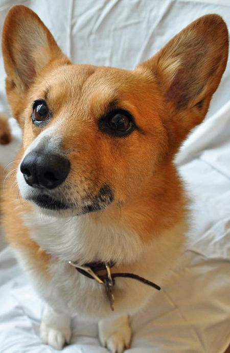 Charlie The Pembroke Welsh Corgi Pictures 528235 Pictures to like or ...