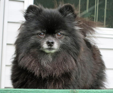 Charlie the Pomeranian Pictures 966335