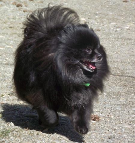 Charlie the Pomeranian Pictures 966336