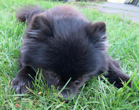 Charlie the Pomeranian Pictures 966338
