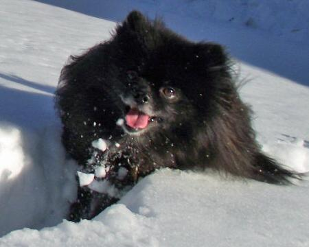 Charlie the Pomeranian Pictures 966334