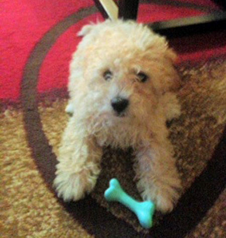 Charlie the Poodle Mix Pictures 1015377