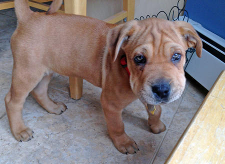 Charlie the Shar Pei Mix Pictures 1012402