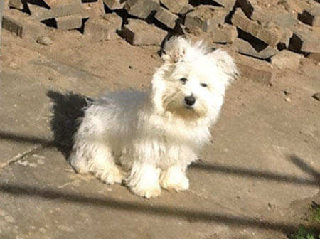 Charlie the West Highland Terrier Pictures 979652