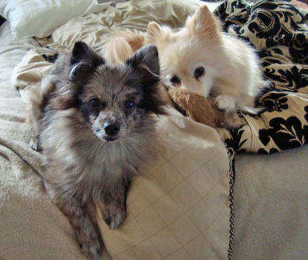 Charlotte the Pomeranian Pictures 970790