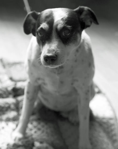 Cheri the Rat Terrier Mix Pictures 822038