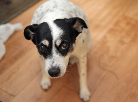 Cheri the Rat Terrier Mix Pictures 822032