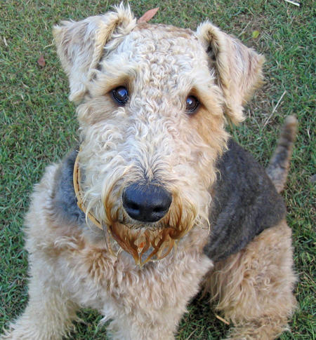 Chester the Airedale Terrier Pictures 862995