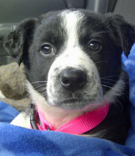 Chevy the Border Collie Mix Pictures 1017389