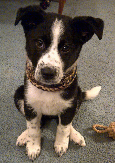 Chevy the Border Collie Mix Pictures 1017392