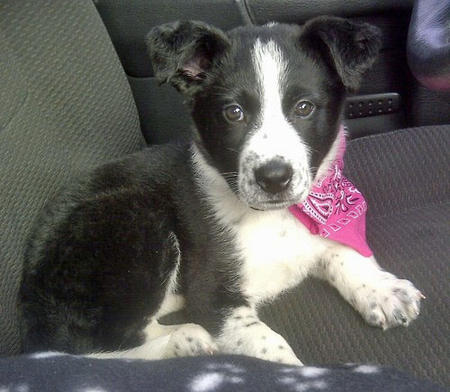 Chevy The Border Collie Mix Puppies Daily Puppy