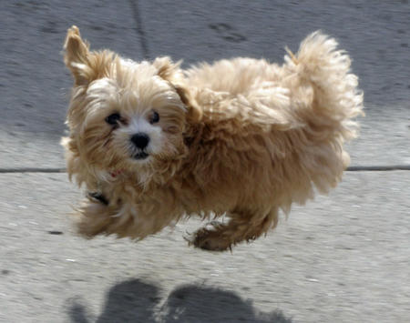 Chewbacca the Poodle Mix Pictures 524173