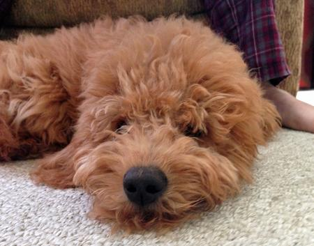 Chewie the Miniature Goldendoodle Pictures 981638