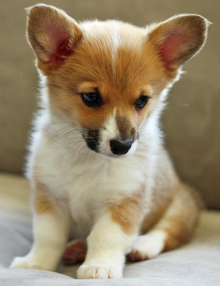 Chewie the Pembroke Welsh Corgi Pictures 745351
