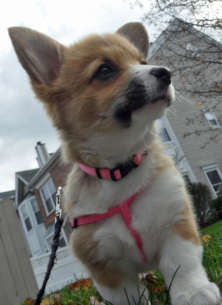 Chewie the Pembroke Welsh Corgi Pictures 745355