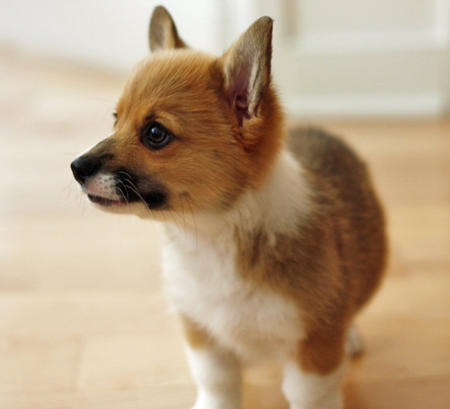 Chewie the Pembroke Welsh Corgi Pictures 745350