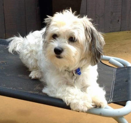 Chewy the Bichon Frise Mix Pictures 985121