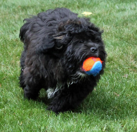 Chewy the Shih Tzu Mix Pictures 988836