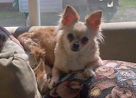 ChiChi the Chihuahua Pictures 996272