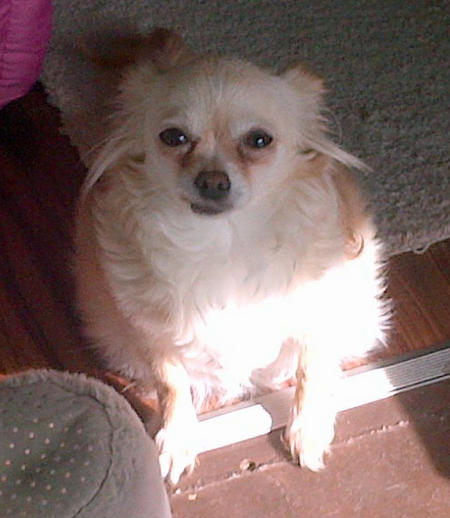 ChiChi the Chihuahua Pictures 996275