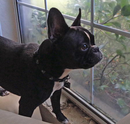 Chief the French Bulldog Pictures 990770