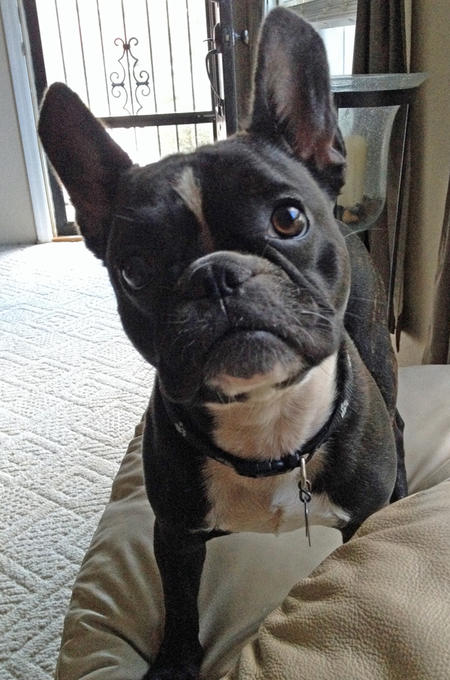 Chief the French Bulldog Pictures 990771