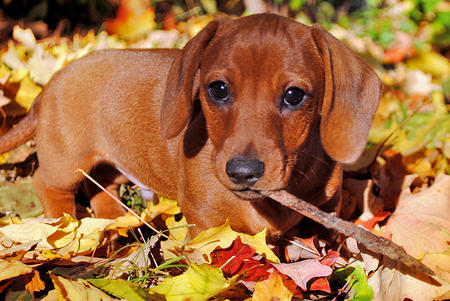 Chili the Dachshund Pictures 933768
