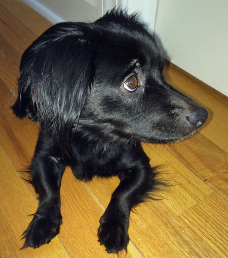 Chip the Dachshund Mix Pictures 1009519
