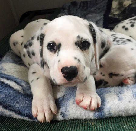 Chip the Dalmatian Pictures 1057405