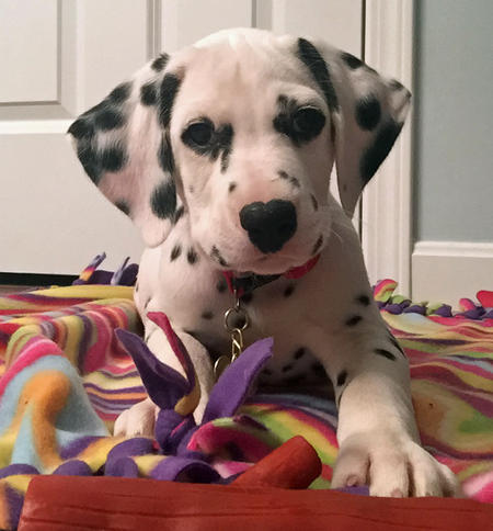 Chip the Dalmatian Pictures 1057406