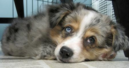 Chloe the Australian Shepherd  Pictures 691195