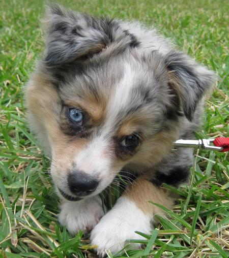 Chloe the Australian Shepherd  Pictures 691197