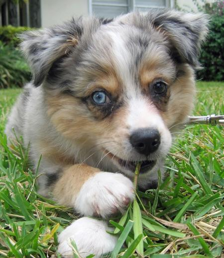 Chloe the Australian Shepherd  Pictures 691198