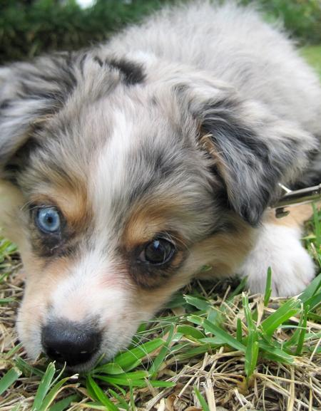 Chloe the Australian Shepherd  Pictures 691199