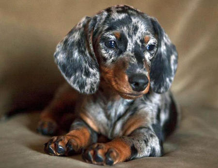 Chloe the Dachshund Pictures 953862