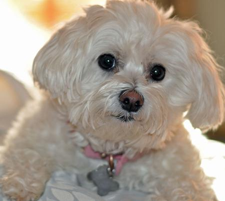 Chloe the Maltese Mix Pictures 870389
