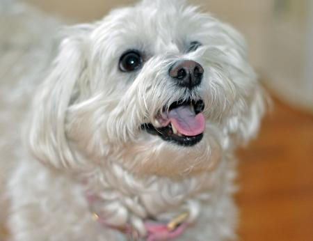 Chloe the Maltese Mix Pictures 870390