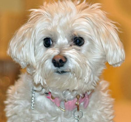 Chloe the Maltese Mix Pictures 870393
