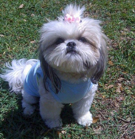 Chloe the Shih Tzu Pictures 847062