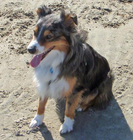 Choco the Australian Shepherd Pictures 591668
