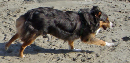 Choco the Australian Shepherd Pictures 591669
