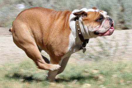 Chomper the English Bulldog Pictures 688896