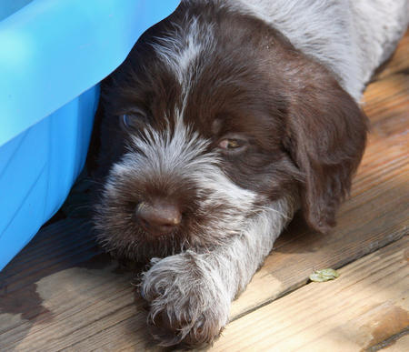 Chuck the Wirehaired Pointing Griffon Pictures 799522