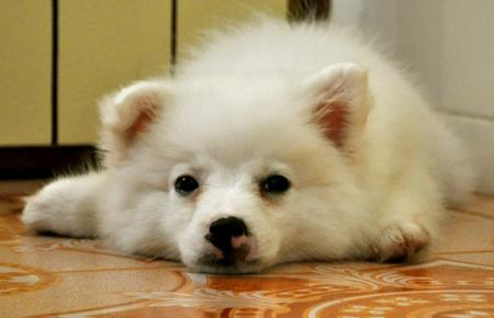 Chum Chum the Japanese Spitz Pictures 708649