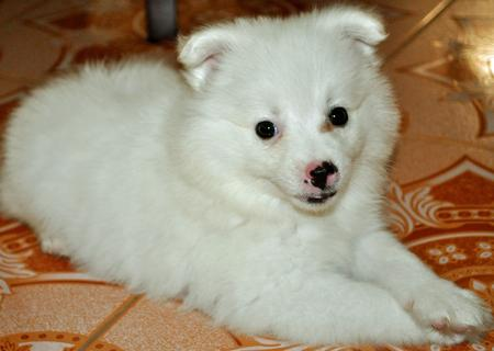 Chum Chum the Japanese Spitz Pictures 708650